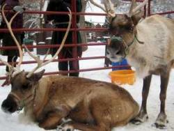 Pat the reindeer during your Christmas ski holiday in the USA