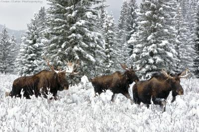 3 Three moose in the snow